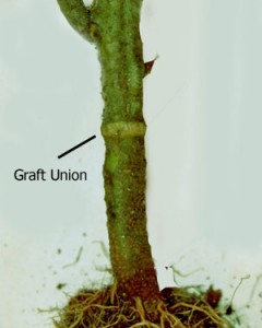 English: Grafted tomato plants should be planted so that the union is well above the soil line in order to reduce contact between the scion and potential plant pathogens (Photo credit: Wikipedia)