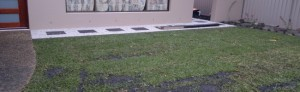 This Buffalo lawn was laid on sandy soil and therefore was laid on a bed of 50mm thick topdressing soil