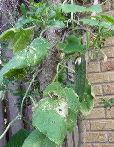 a cucumber can produce their first fruit after 8 weeks. This one is trained up atree to maximise space
