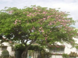 Cassia grandis, a pink flowering exotic species, is a delicacy for tree borers