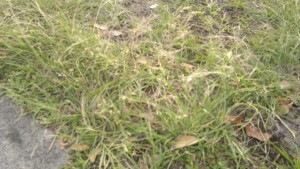 this tough ugly grass usually grows in heavily compacted soils, due to cars driving over the top of the lawn. They usually seed in the bare patches where your preferred lawn grass can't matt into