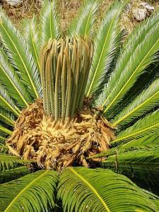Cycas revoluta ( healthy new growth)(Thunb. 1782) detail of spring foliation (Photo credit: Wikipedia)