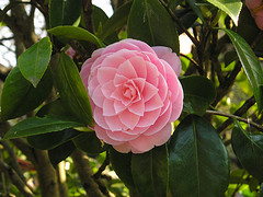 Camellia (Photo credit: VAYardley)