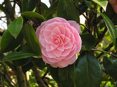 Camellia (Photo credit: VAYardley)
